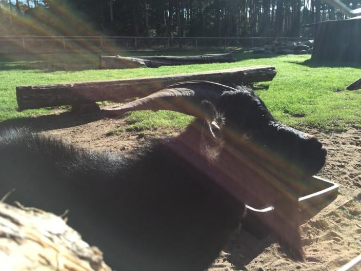 Eine Ziege (nichts ungewöhnliches)