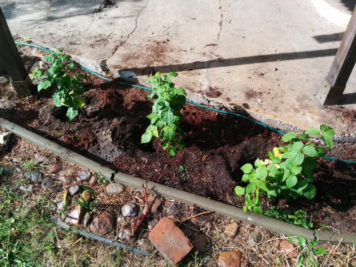 Unsere drei neuen Gartenbewohner (Himbeerpflanzen)