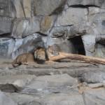 Löwen im Tierpark Berlin